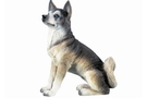 Buy Pacific Siberian Husky #4578