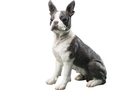 Buy Boston Terrier